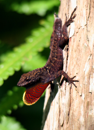 Brown anole; tailless, displaying